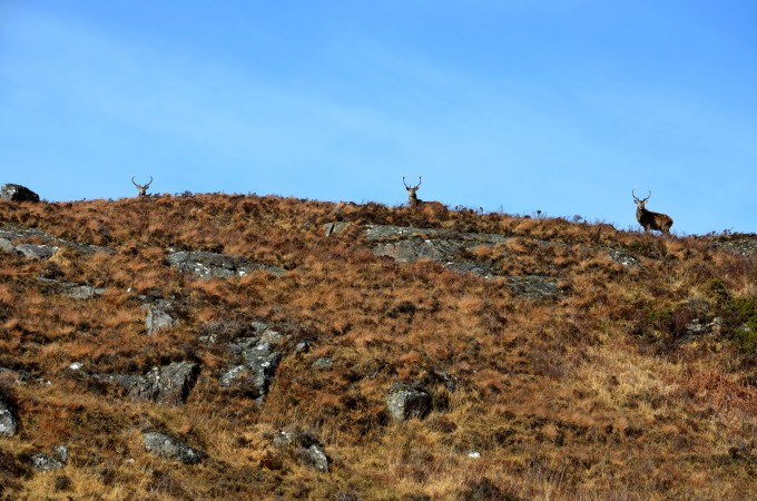 Stag near Suilven
